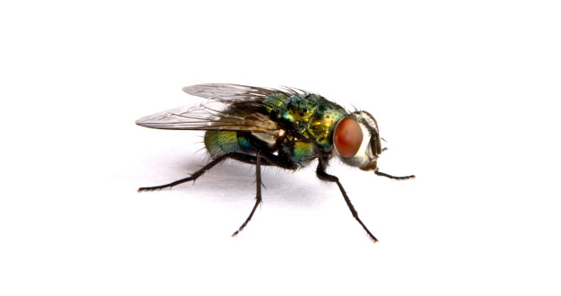 Fly Pest Control in Florida