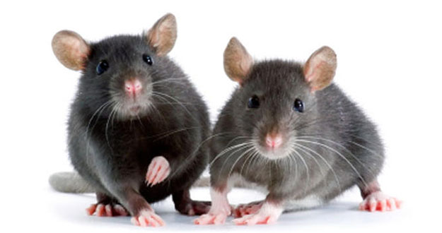 Mice Pest Control in and near New Port Richey Florida
