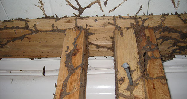 Wood Termite Control in and near Plant City Florida
