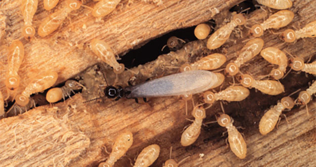 Subterranean Termite Control in and near Tampa Florida